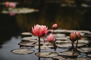 Lotus flower in still water